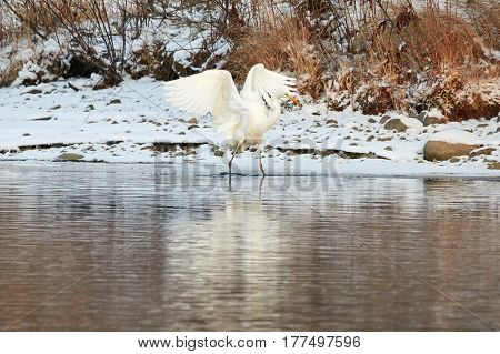 Great Egret Standing On The Shore Of Frozen River In Sunlight In The Winter