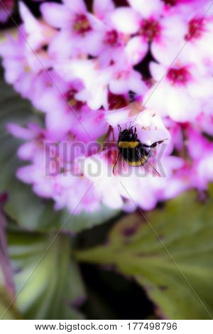 bumblebee, small insect, collects nectar from flowers Bergenia