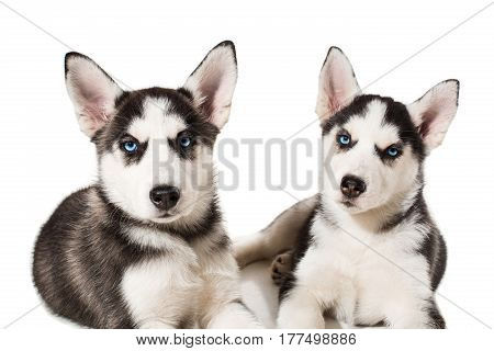 two little cute puppy of Siberian husky dog with blue eyes isolated. Beautiful puppies