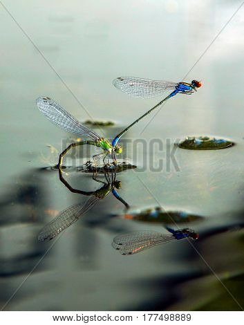 dragonflies mate during the breeding season on the lake
