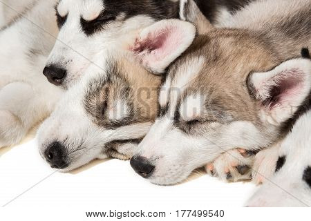 group of happy siberian husky puppies on white. Beautiful puppies. Puppies are sleeping