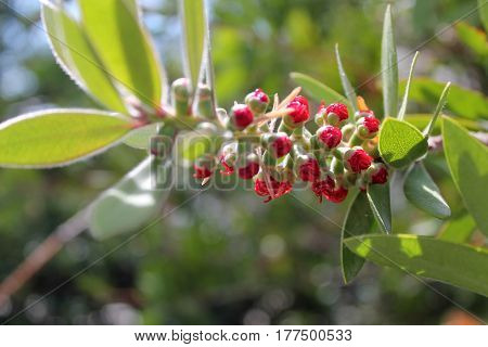Beautiful red buds of Santorini island nature
