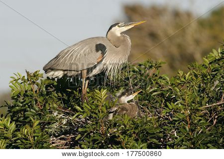 A Great Blue Heron, Ardea herodias in breeding plumage with chick at nest site in a Florida rookery