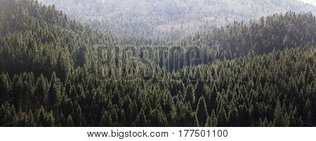 Pine forest background with the first sun light. Spuce mountain forest Slovenia. Beautiful wilderness.