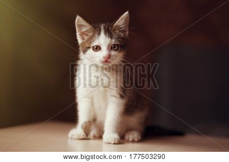 Portrait of little kitten sitting on the table and posing on camera copy space
