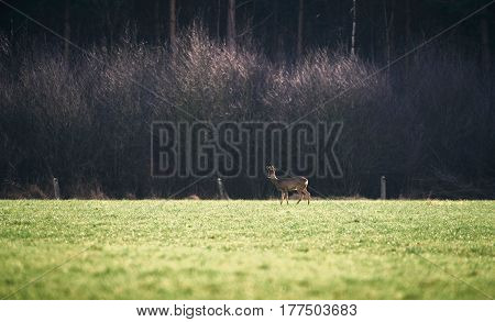 Roe Buck With Bark Antlers In Meadow.