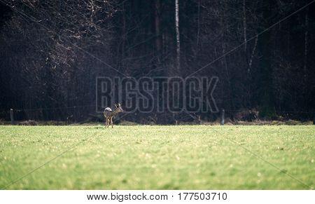 Roe Deer Buck With Bark Antlers Standing In Field.