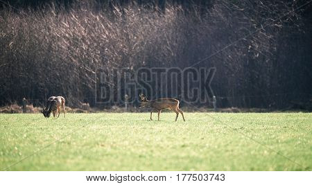 Roe Buck Walking Towards Two Grazing Bucks.