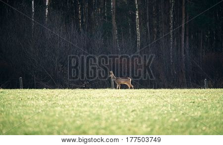 Roe Buck With Bark Antlers Standing In Field.