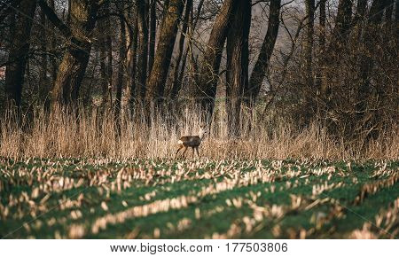 Alert Roe Buck Standing In Farmland Near Reed.