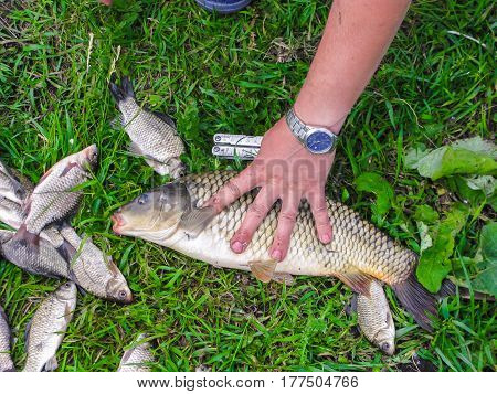 The Fisherman's Hand Holds Live Carp From The Catch On The Green Grass.