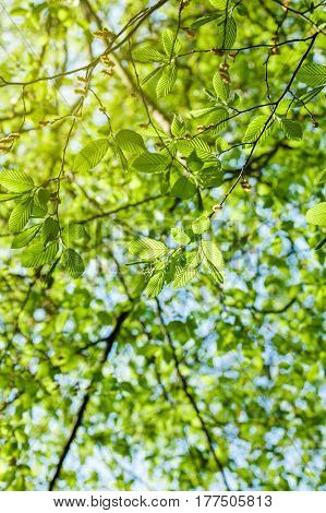 Vertical image of lush early spring foliage - vibrant green spring fresh leaves of poplar tree in spring in protected forest