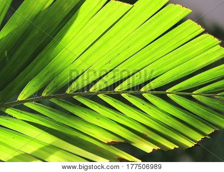 backlit background of big green palm leaf
