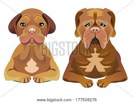 Set of two Mastiff dogs sitting and looking forward. One of them is a puppy, and another is an adult. Brown color, hanging ears and cheeks.