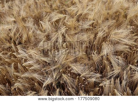 Background Of Ripe Ears Of Wheat Grown In The Field