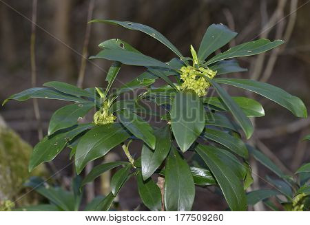 Spurge Laurel