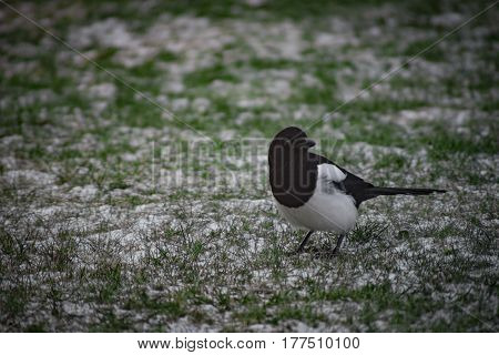 A magpie standing on a green lawn with snow on top with a nice bokeh