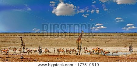 Panorama of a vibrant waterhole with giraffe, gemsbok oryx and springbok in Etosha National Park, Namibia, Southern Africa