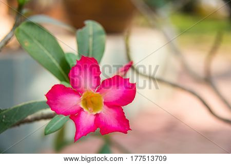 Impala Lily or Desert Rose or Mock Azalea beautiful pink flower in garden.