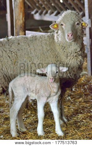 Young lamb and sheep in spring time