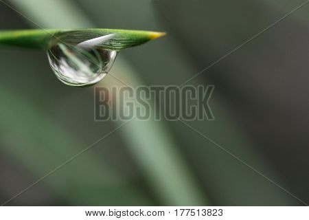 Big droplet of dew on a pine needle