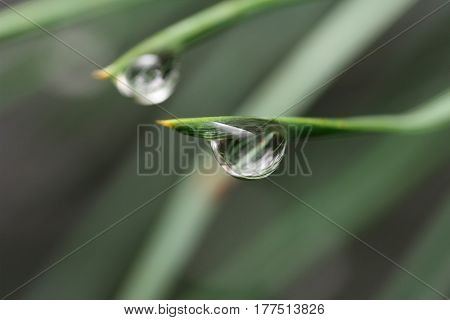 Two big droplet of dew on a pine needle