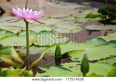 Lotus flower and Lotus flower plantswater lily lotus flower on gardenLotus flower and lotus leaveslotus flower blossom