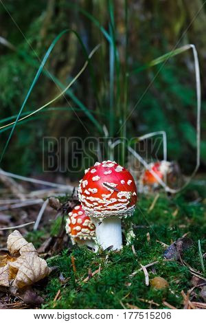 Red Amanita muscaria mushrooms in a forest