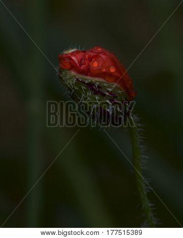 Red poppy in dark green background . Poppy isolated in dark green blurry background. Maltese flower
