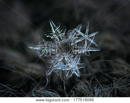 Macro photo of real snowflakes: cluster of three stellar dendrite snow crystals with elegant structure, long and spiky arms, glowing on dark gray woolen background in diffused light of dim winter sky.