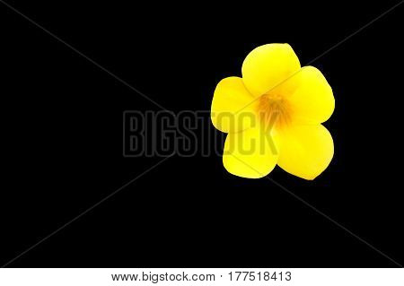 Allamanda cathartica Yellow flower at beautiful. Golden Trumpet willow-leaved climber blooming in the garden isolated on black background and clipping path