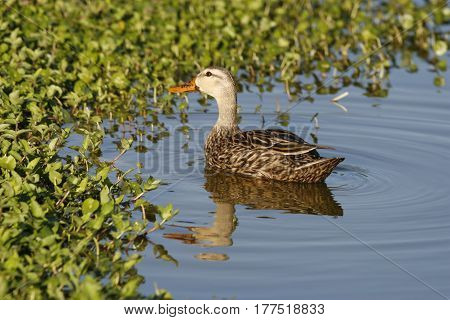 A Mottled Duck, anas fulvigula at the edge of a calm lake in Florida