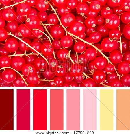 A background of fresh redcurrants in a colour palette with complimentary colour swatches