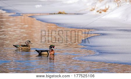Wood Duck Pair (Aix Sponsa) swimming together in beautiful reflective icy water