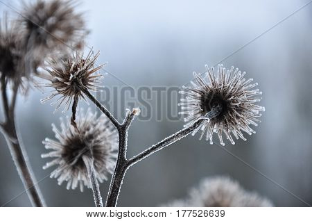 Frozen Dry Thistle. Ice-covered Plant. Hoarfrost Branches. Macro
