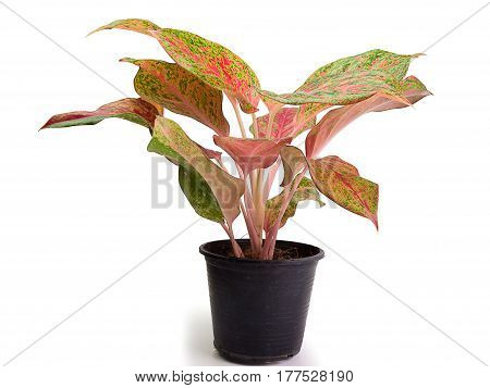 Queen of the Leafy Plants Scientific name is Caladium bicolor Ornamental plant with beautiful leaves and sacred wood.