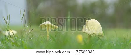 Rainy day with yellow mushrooms growing in green grass during wet weather panorama