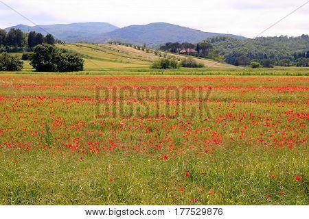 Travel to Toscana Italy. Poppy field near the mountains.