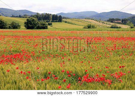 Travel To Toscana, Italy. Poppy Field Near The Mountains.