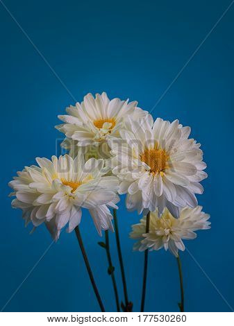 Beautiful white chrysanthemums on blue as background picture.