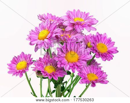Beautiful purple chrysanthemums as background picture.