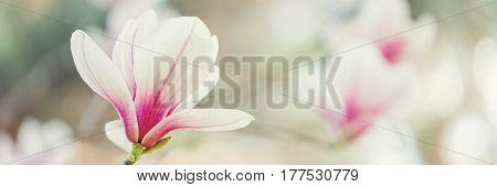 Magnolia flowers spring blossom background, selective focus