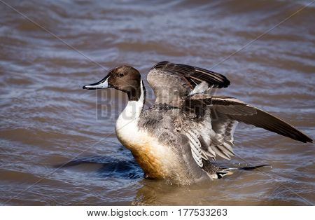 Northern Pintail Duck (Anas Acuta) Male with wings spread