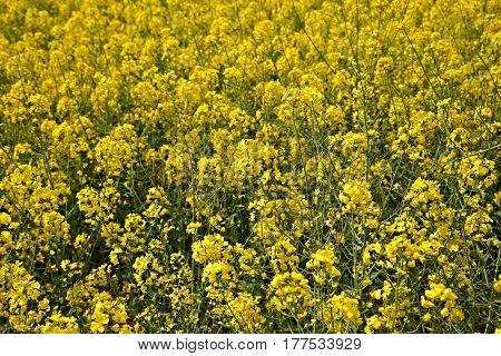 Blooming rapeseed closeup on a field