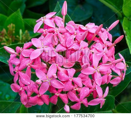 Pink Ixora are blooming in garden park