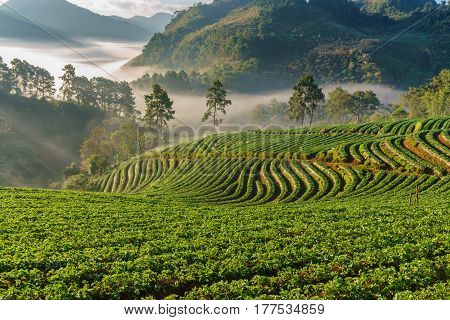Misty morning sunrise in strawberry garden View of Morning Mist at doi angkhang Mountain Chiang Mai Thailand