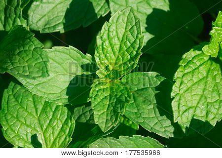 fresh Green Mint leaves in home garden