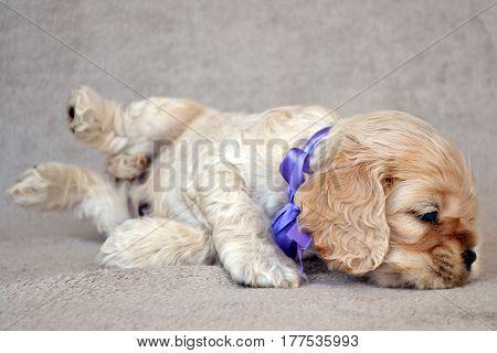 A puppy of an American cocker spaniel lies
