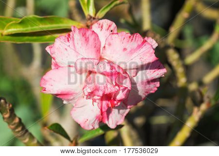 Close up of pink and white azalea blooming beautifully in garden