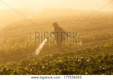 Worker harvesting strawberry in strawberry field at Doi Ang Khang Chiang Mai Thailand